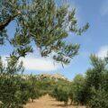 Oliviers ©Huiles et olives de France