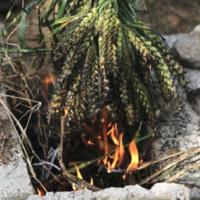 Freekeh brûlé ©Sabarot