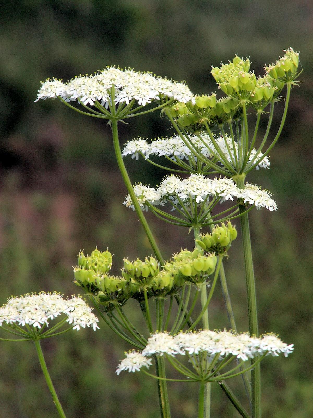 Inflorescences d'Anis vert
