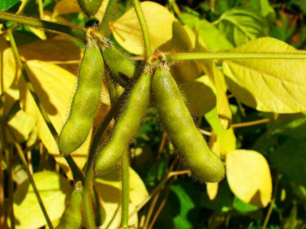 Haricots de soja ©H. Zell CC BY-SA 3.0