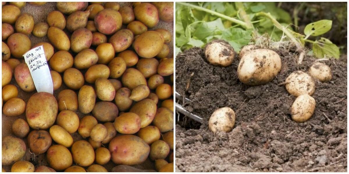 Pommes de terre King Edward et Maris Piper