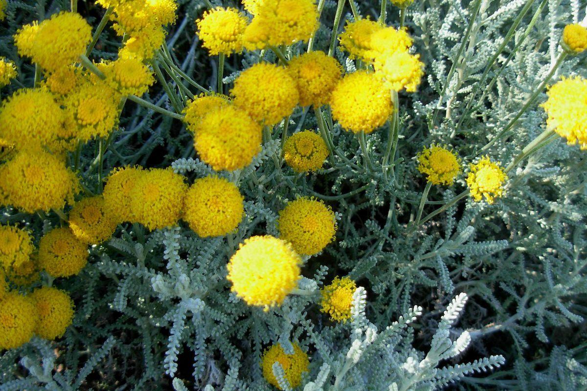 Santoline en fleurs ©J Brew CC BY-SA 2.0