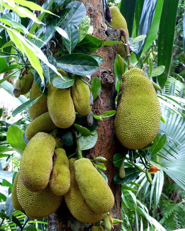 Jacque - Fruits du Jacquier