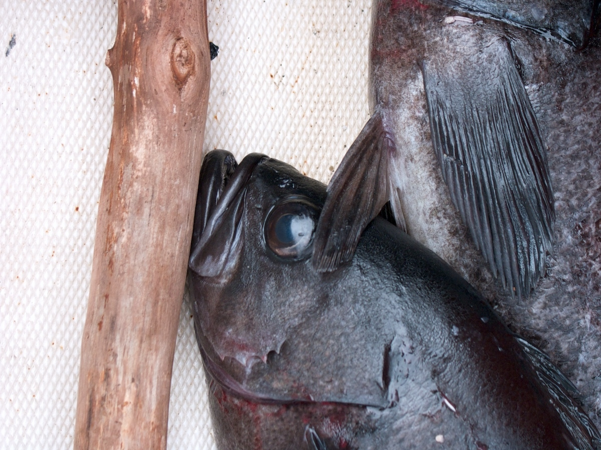 Black cod ©Sam Beebe Licence CC BY 2.0