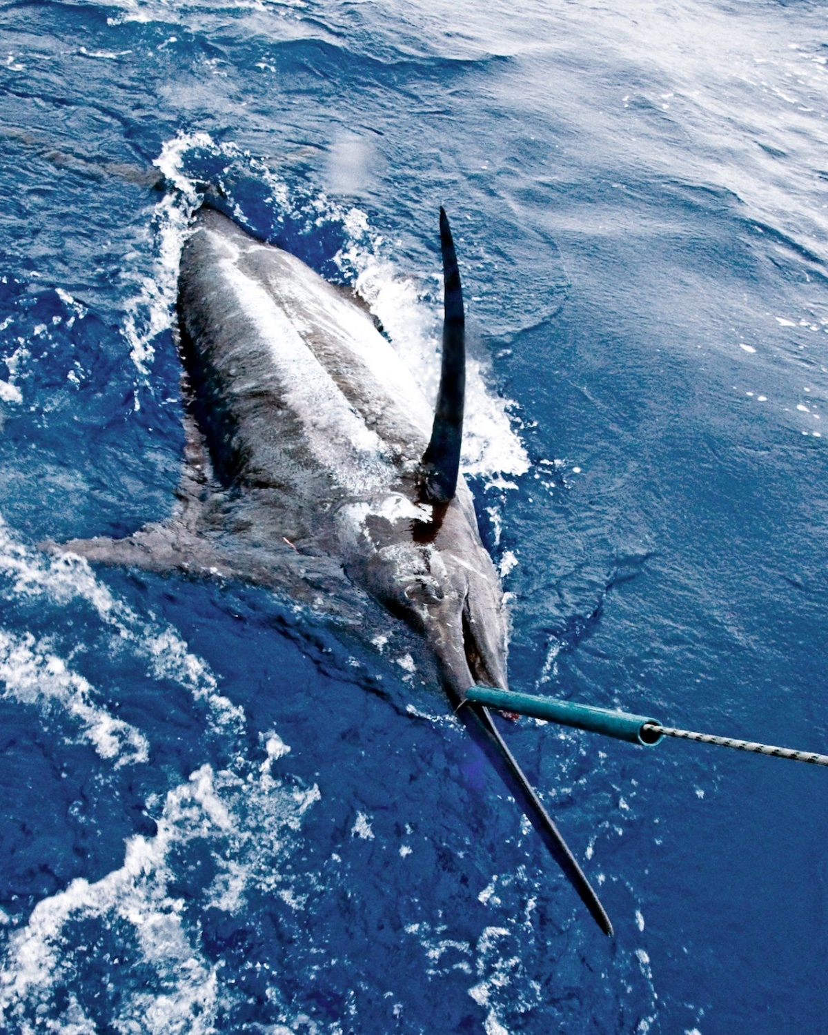 Marlin ©Phil Licence CC BY-ND 2.0