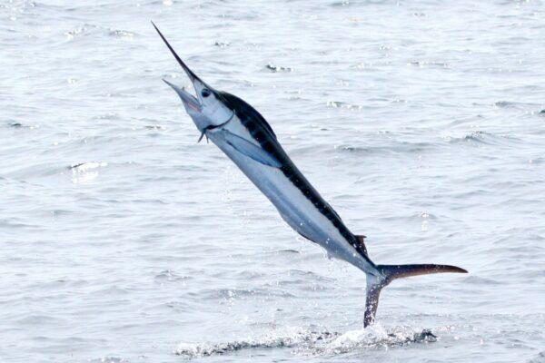 Marlin jaillissant hors de l'eau ©Dominic Sherony CC BY-SA 2.0