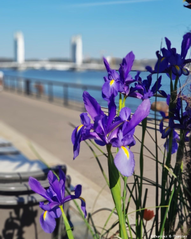 Iris - Quais, Bordeaux