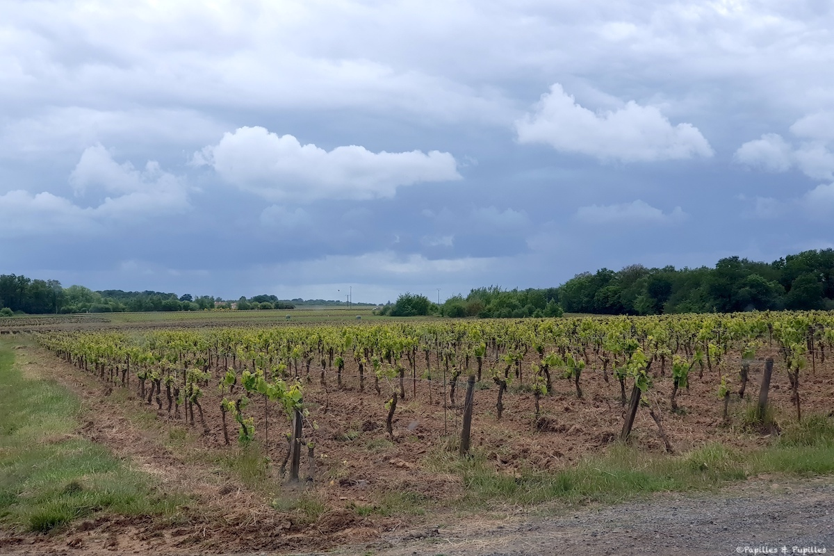 Vignes - Domaine Ménard-Gaborit