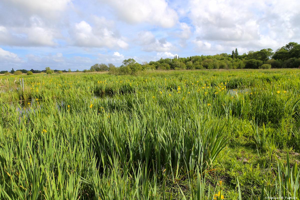 Les iris jaunes des marais