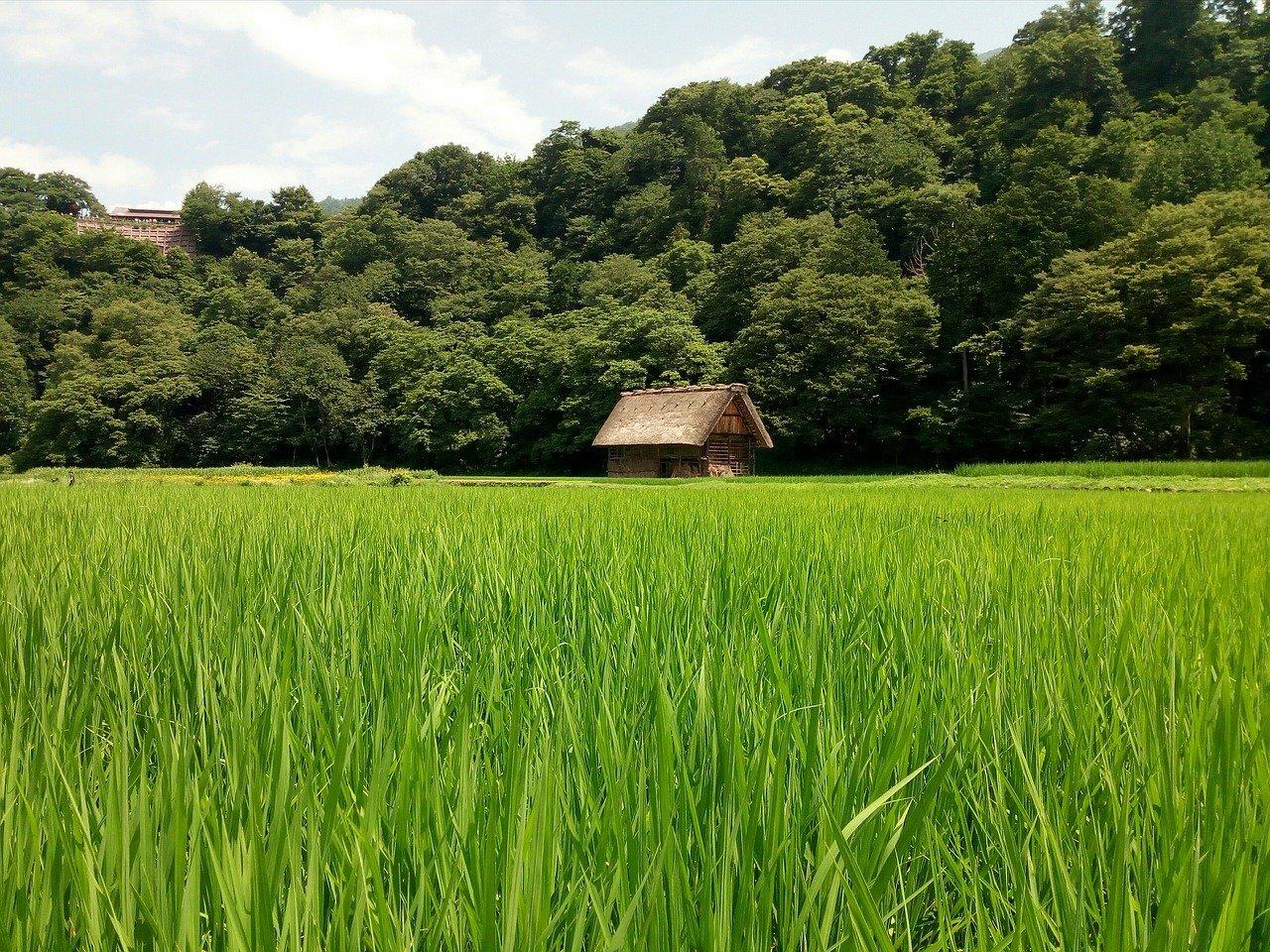 Culture du riz Shirakawa-gō