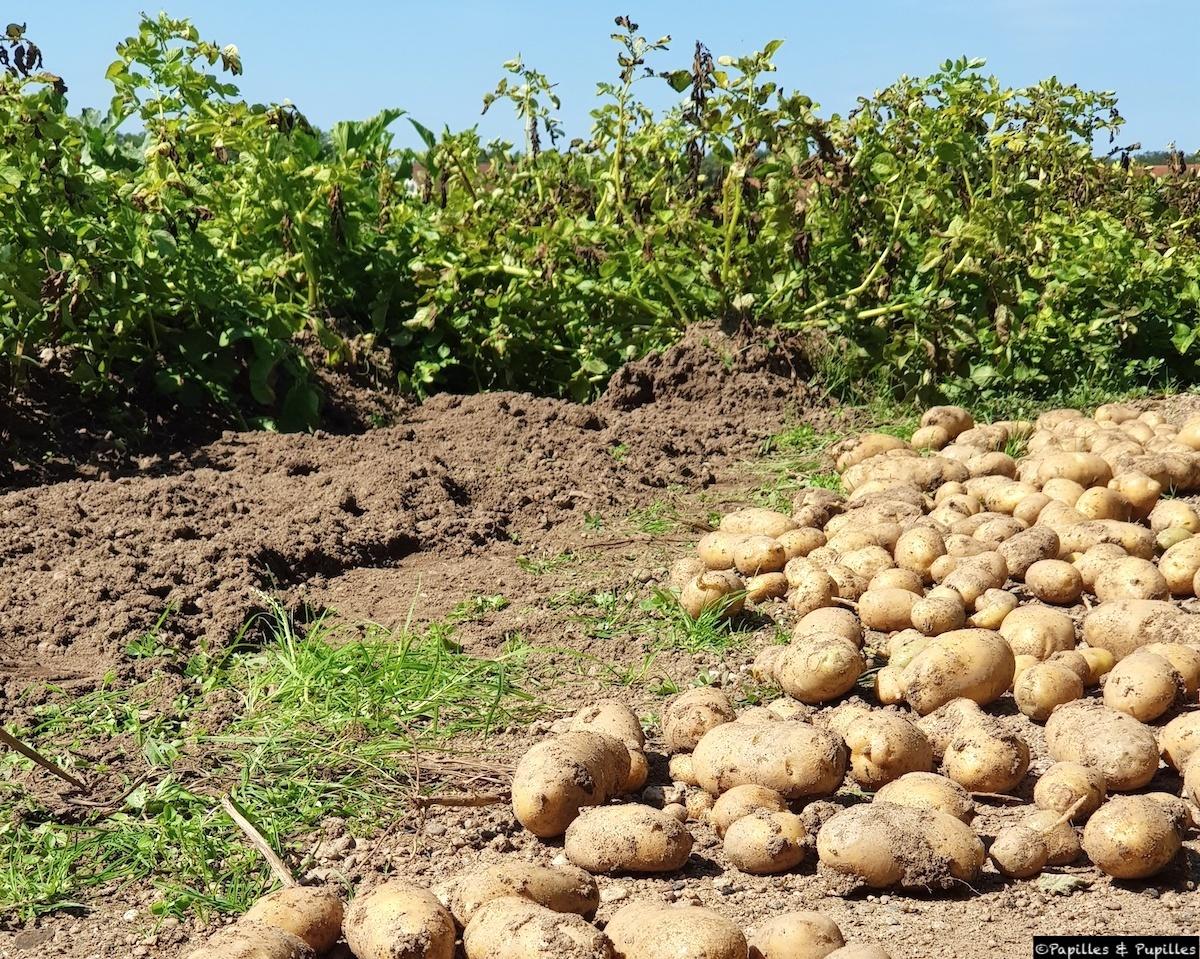 Récolte de pommes de terre - jardin familial