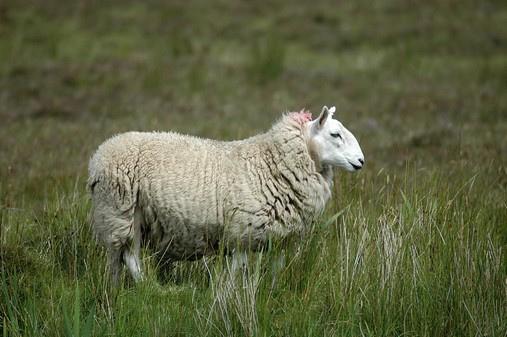 Mouton Irlandais