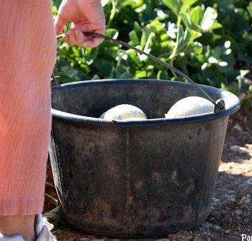 Seau de melon - cueillette