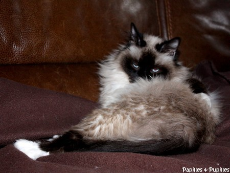 Salsa - Chat Birman