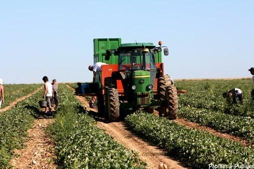 Equipe de cueillette de melons