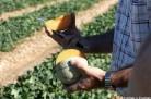 Melon tranché dans un champ