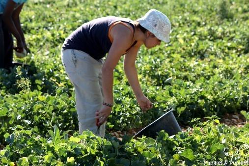 Cueillette des Melons - Thouars